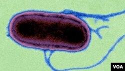 Salmonella Typhimurium (Credit: Wellcome Trust Sanger Institute)