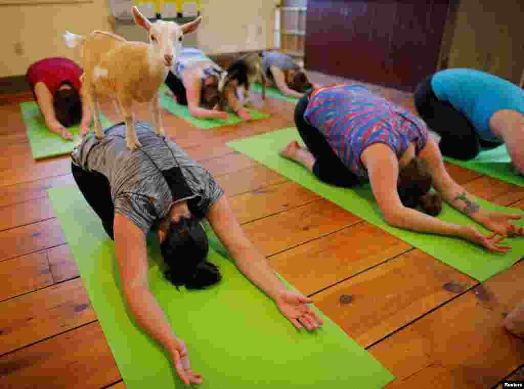 2017年5月18日,在美国新罕布什尔州诺丁汉市的Jenness农场,山羊站在凯莉·肯尼迪身上,这堂瑜伽课有八名学生和五只山羊。
