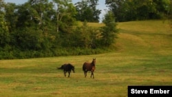 Horses at play in a pasture in Hume, Virginia (Steve Ember/VOA)