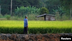 A farmer works in his rice field in Nakhonsawan province. The Thai government has offered 2 million tonnes of rice and 200,000 tons of rubber to China, the commerce minister said on Friday, as the government attempts to sell off stockpiles that are hanging over global markets and pushing down prices, Nov. 14, 2014.