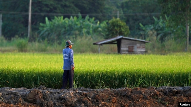 FILE - A farmer works in his rice field in Nakhonsawan province Nov. 14, 2014. Thailand's rice farmers are struggling with drought, low returns, and rising competition as a new era of trade opens under the ASEAN Economic Community (AEC). But as growers hope to weather the hard times by drawing on years of farming experience and hopes of a revival in rice prices.