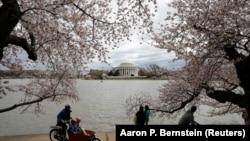 华盛顿之春,潮汐湖畔,满树樱花压枝头,游人眺望湖对面的杰佛逊纪念堂(2017年4月1日)。美国首都华盛顿2017年成为第一个获得LEED白金认证的城市。