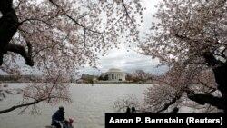 Người dân và du khách đạp xe dưới tán hoa anh đào đang nở rộ tại Washington DC ngày 01/4/2014