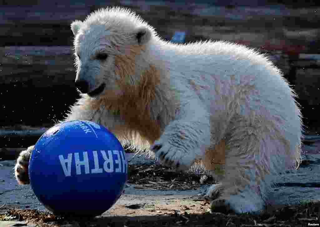 A polar bear cub called Hertha plays with a ball after her name was announced to the public, at the Tierpark zoo in Berlin, Germany.