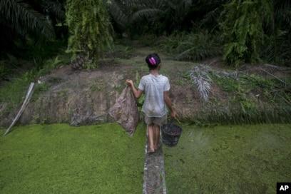Seorang anak membawa biji sawit yang dikumpulkan dari tanah melintasi anak sungai di perkebunan kelapa sawit di Sumatera, Senin, 13 November 2017. (Foto: AP)
