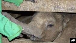 肯尼亚首都内罗毕野生动物基金会总部的一名工作人员在照顾一头遭遗弃的小象(2009年8月资料照)