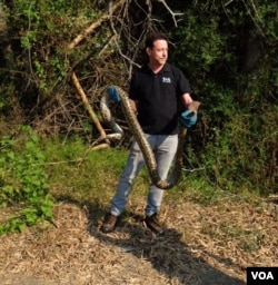 VOA Correspondent Steve Herman holds a Burmese python for an on-camera report prior to releasing the snake in Petchaburi province, Thailand, Feb. 28, 2016. (Wanvida Jiralertpaiboon for VOA)