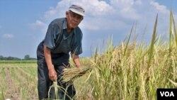 Seorang petani di Kabupaten Bandung terpaksa memanen padi lebih cepat untuk mengurangi kerugian akibat kekeringan, 27 September 2014 (Foto: VOA/Tedja Wulan)