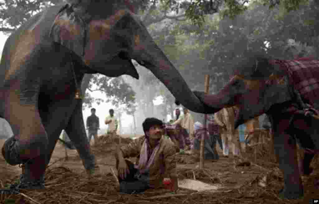 An Indian mahout watches as seven-year old female elephant Laxmi reaches with her trunk to touch her daughter 13-month old baby elephant Rani at the Sonepur Fair, in Sonepur, Bihar, near Patna, India, Tuesday, Nov. 15, 2011. The fair, which is held annual