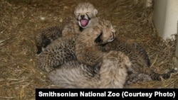Cheetah cubs born recently at a research center run by the Smithsonian National Zoo.