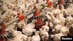 资料照:美国北卡罗来纳州C&A农场在喂食雏鸡。(2014年6月10日)