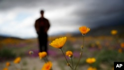 "A man looks at the wildflowers in bloom near Borrego Springs, Calif., March 6, 2019. Two years after steady rains sparked seeds dormant for decades under the desert floor to burst open and produce a spectacular display called a ""super bloom."""