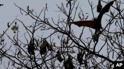 FILE - Bats fly over a tree at a central park in Dhaka, Bangladesh, March, 6, 2008.