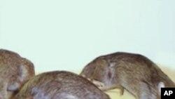 ပဲခူးဘက္မွာ စပါးပ်ဳိးခင္းေတြကို ႂကြက္ေတြ ဖ်က္ဆီး