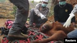 Seekor orangutan diselamatkan dari perkebunan kelapa sawit di distrik Batang Serangan, Langkat, Sumatra (Foto: dok).