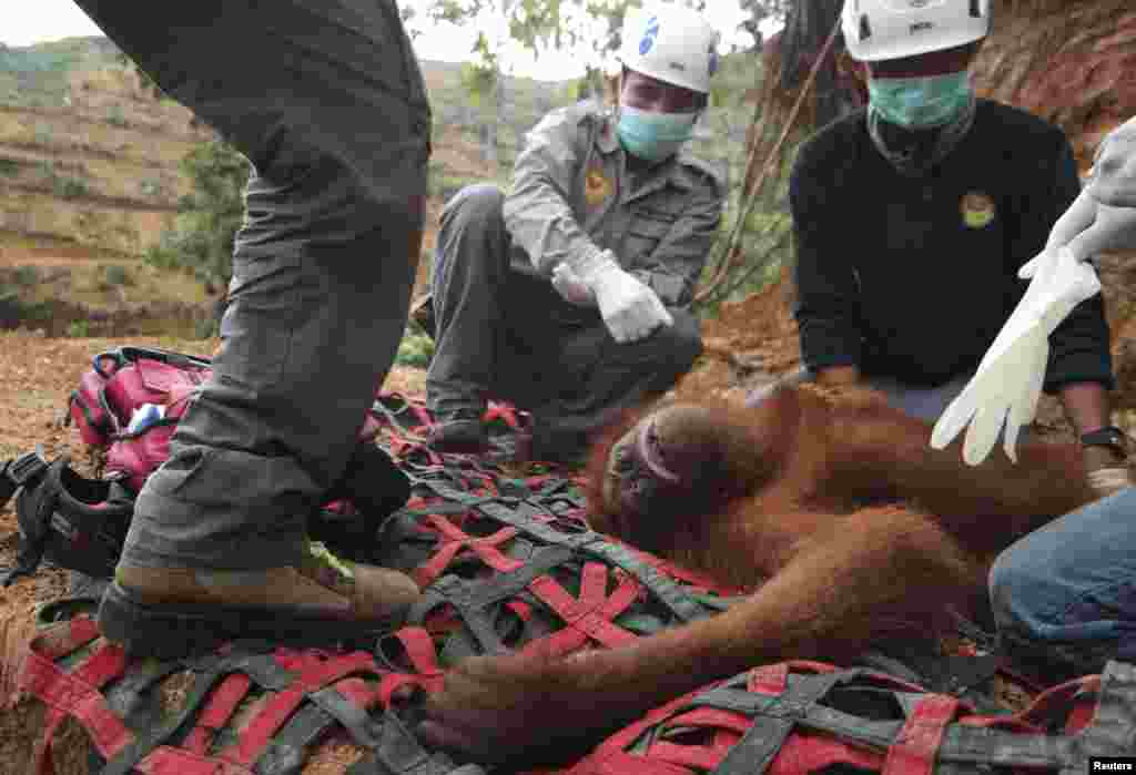 Local and government conservationists remove a rescued female orangutan in a palm oil plantation in Batang Serangan district, Langkat, North Sumatra province in this photo taken by Antara Foto, Sept. 1, 2015.