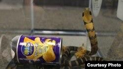 薯片罐里放出来的眼镜蛇
