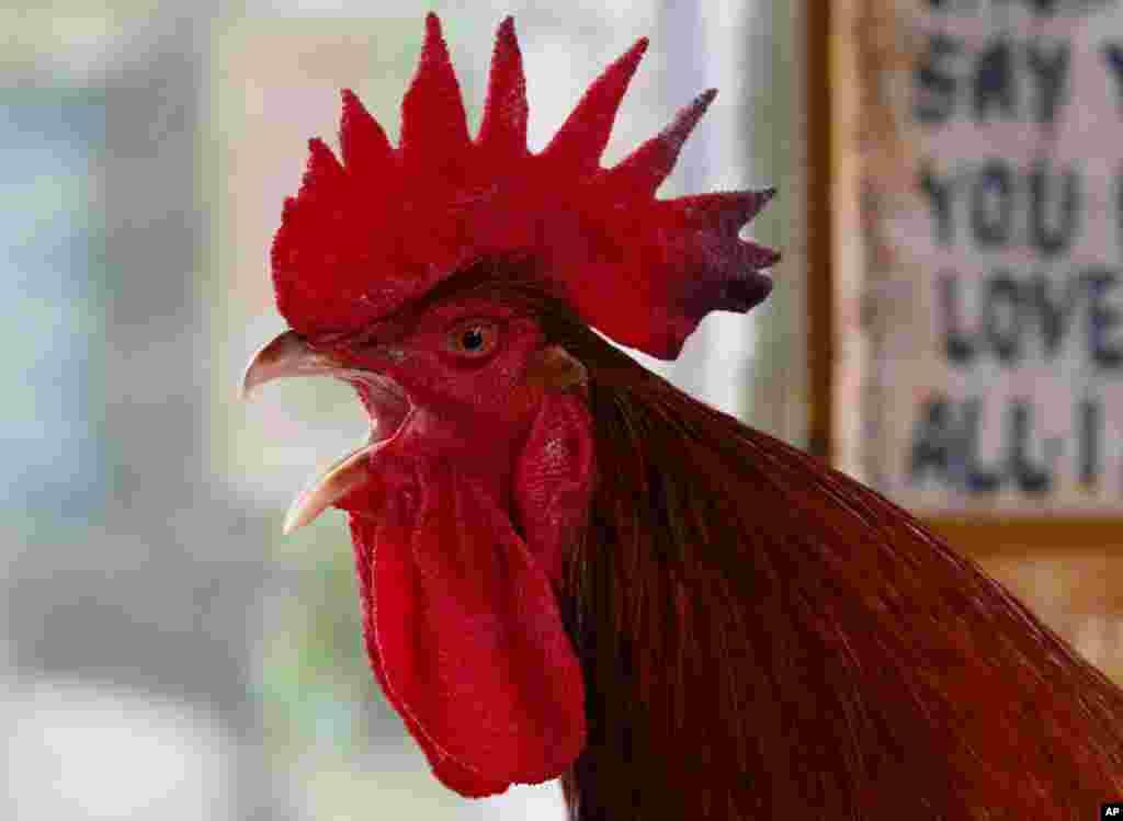 Seekor ayam jantan 'raksasa' dari Perancis berkokok saat dipamerkan kepada media di kebun binatang Malabon untuk merayakan Tahun Baru Imlek shio ayam jago di Manila, Filipina.