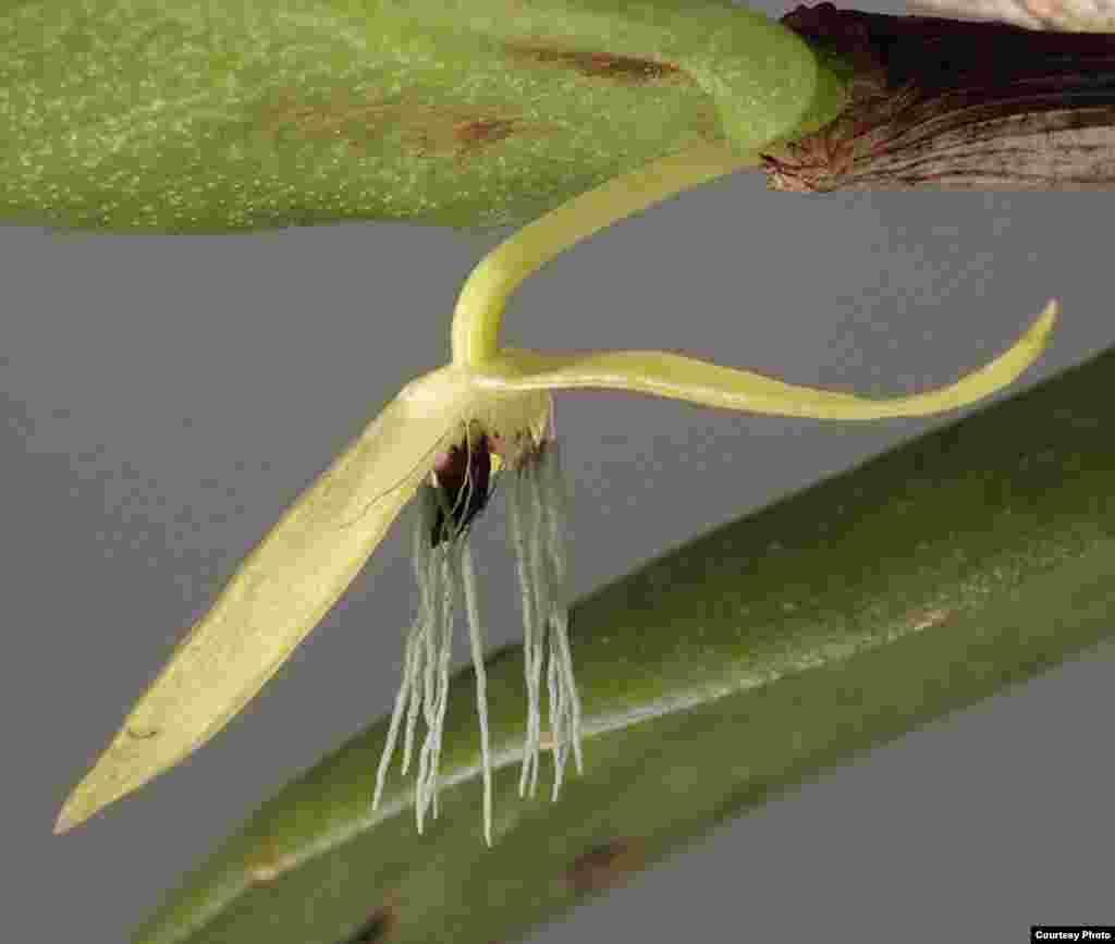 Bulbophyllum nocturnum.Noćna orhideja sa Papue Niove Gvineje jedina je u svojoj brojnoj familiji (25.000 vrsta) koja cvjeta noću. (Photo: Andre Schuiteman)