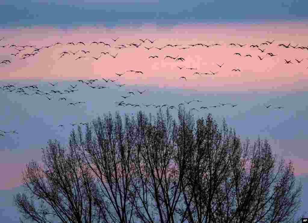 Ribuan burung-burung bangau yang melakukan migrasi terbang di atas kota Straussfurt, Jerman.