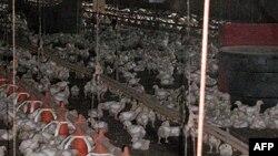 Cúm gà bùng phát tại Romania