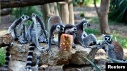FILE - Ring-tailed lemurs enjoy a frozen treat on a summer's day, Ramat Gan Safari, near Tel Aviv, July 12, 2012.