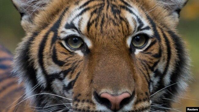 Nadia, con hổ cái 4 tuổi ở sở thú Bronx của New York, đã xét nghiệm dương tính với COVID-19 sau khi tiếp xúc với một nhân viên của sở thú.