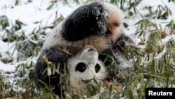 熊貓寶寶今年1月第一次見到了雪。