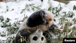 华盛顿动物园的熊猫宝宝在雪地中玩耍(2015年1月27日)