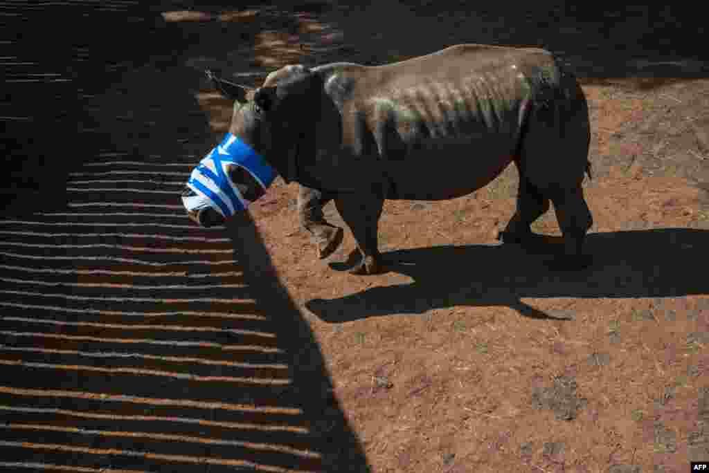 Seekor badak yang kehilangan culanya karena diambil oleh pemburu ilegal, mengenakan perban pada mulutnya setelah dirawat oleh para dokter Afrika Selatan di Bela Bela, utara Johannesburg.
