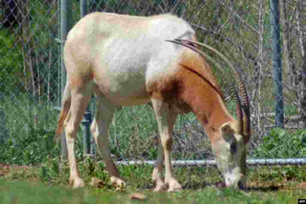 Washington Hayvanat Bahçesi'nde Nesli Tehlikede Olan Hayvanlar