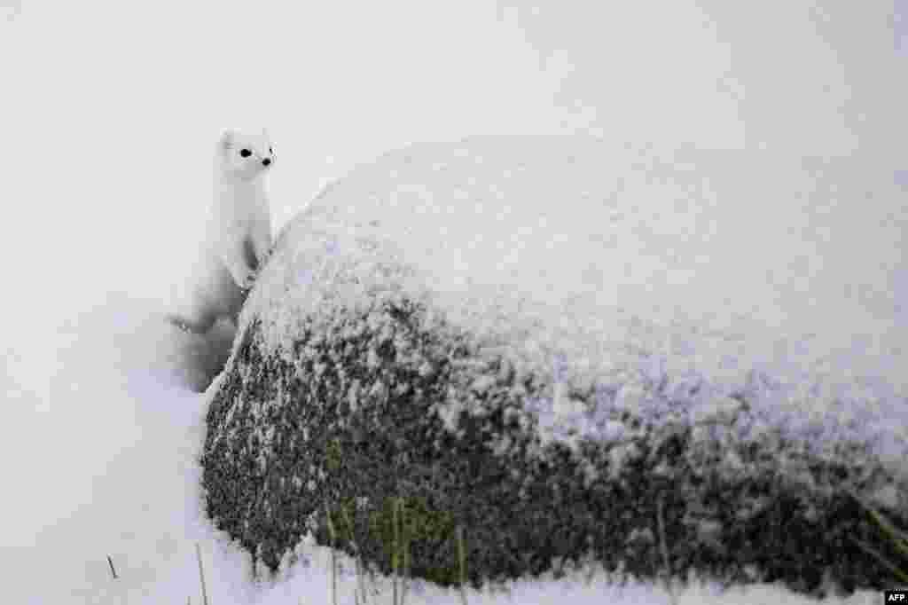 Seekor musang kutub utara berdiri di pantai yang bersalju di Unstad, pulau Lofoten di Lingkar Arktik.
