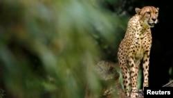 Un guepardo o chita salvaje acelerando a lo largo de la sabana africana ha sido descrito como poesía en movimiento.