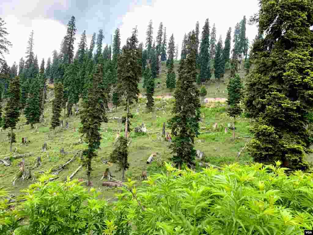 درختوں کی کٹائی کی وجہسے لینڈ سلائیڈنگ، برفانی تودوں کا گرنا، درجۂ حرارت کا بڑھنا اور آکسیجن کی کمی جیسی شکایات کا سامنا یے۔