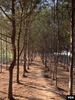 Setiap tahunnya 200 ribu hektare mangrove di Indonesia mengalami penurunan kualitas. (Courtesy : Eva Mazrieva/VOA)