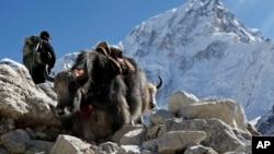 西藏犛牛進駐美國高原