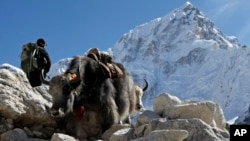 Yaks make their way past a trekker on the way to Everest Base Camp near Gorakshep, Nepal, Saturday, Oct. 24, 2015. Earlier in August, Nepal announced the opening of Mount Everest to climbers for the first time since an earthquake-triggered avalanche in April killed 19 mountaineers and ended the popular spring climbing season. Since April's earthquake, which killed nearly 9,000 people, Nepal has been desperate to bring back the tens of thousands of tourists who enjoy trekking the country's mountain trails and climbing its Himalayan peaks. (AP Photo/Tashi Sherpa)