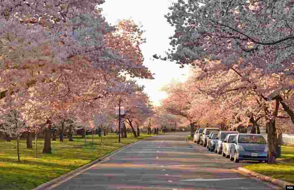 Cherry Blossom - Tidal Basin