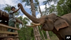 FILE - In this Monday, June 27, 2016 photo, a mahout touches a tame elephant at Myanmar government owned elephant hut in Kabyin Lwin, northern Sagaing division, Myanmar. (AP Photo/ Gemunu Amarasinghe)