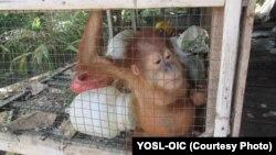 Orangutan Sumatera yang dikurung dalam kandang dan kemudian diselamatkan oleh petugas dari tangan warga di Kabupaten Aceh Barat Daya (courtesy: YOSL-OIC)