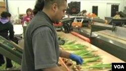 Pegawai Fresh Tulips USA di Virginia mengemas tulip hasil produksinya untuk dikirim ke berbagai wilayah di AS.