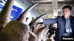 Seorang petugas Thailand memajang cula badak sitaan dari Ethipia dalam konferensi pers di bandara internasional Suvarnabhumi, Bangkok, Thailand, 14 Maret 2017. (Foto: dok). Para pejabat bea cukai Malaysia, hari Senin (10/4) mengatakan mereka telah menyita 18 cula badak yang beratnya lebih dari 51 kilogram, dan bernilai lebih dari $3 juta.