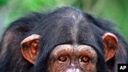 د افریقا سگرټ څکوونکې شامپنزي مړه شوه