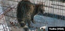 Seekor Garangan Jawa (Herpestes javanicus) di salah satu kios pasar hewan di Solo, Senin (23/12). (Foto: VOA/Yudha)