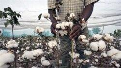 Coton transgénique cultivé dans la région de Fada N'gourma au Burkina