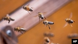 Las abejas melíferas polinizan muchos de los principales cultivos de exportación chilenos, como aguacates, arándanos, frambuesas, manzanas, cerezas y almendras.
