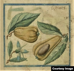Illustration of an avocado from a 17th Century account of an expedition to the Caribbean. Courtesy of the John Carter Brown Library at Brown University.