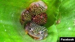 Salah satu katak koleksi Kebun Binatang Oakland, Starry Night Reed Frog. (Facebook/Ashley O-OakZoo)