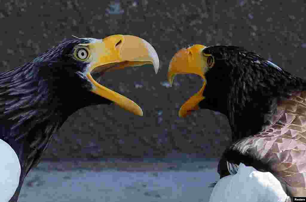 تصویری از عقابهای باغ وحش کراسنویارسک روسیه