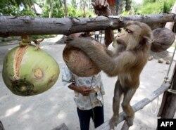 Seorang pelatih tengah memberi instruksi kepada monyetnya untuk mengumpulkan kepala di Pusat Pelatihan Monyet di Pulai Samui, 19 Juli 2003. (Foto: dok).